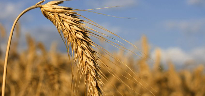 005886176_Wheat-rye-barley-hybrid-crop-ready-for-harvest