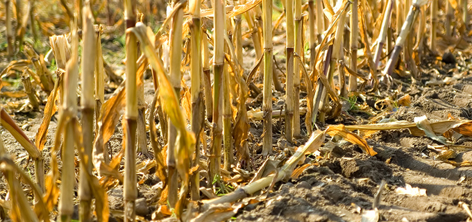 Detail of a harvested corn field in autumn.