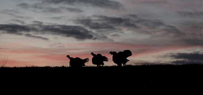 012304687_wild-turkey-Silhouette